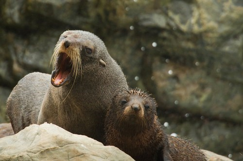 baby bullies sealion seals mommy squee
