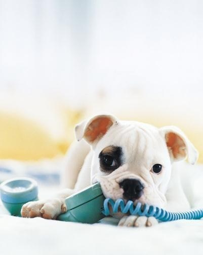 dogs bulldog puppy cyoot puppy ob teh day telephone chewing - 6675560704