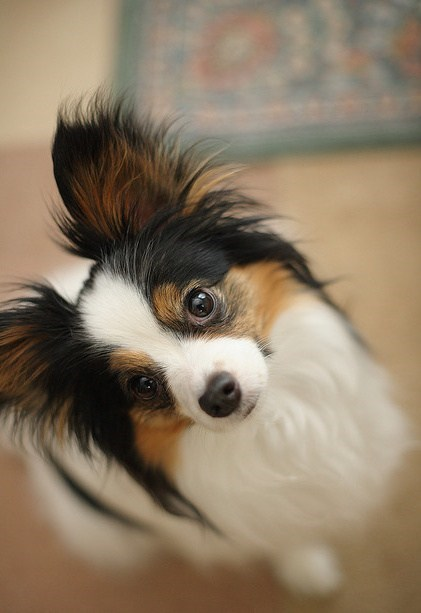 dogs papillon goggie ob teh week ears Fluffy medieval history - 6675573504