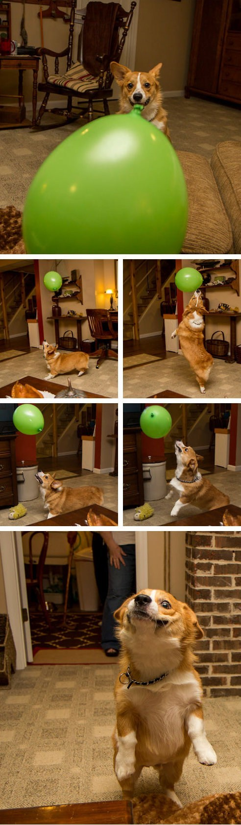 otis,balloon-chasing dog,green balloon,corgi,dogs