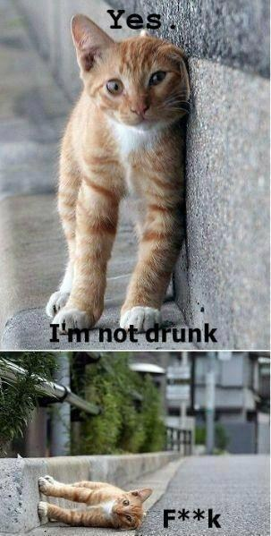 you are drunk,im-not-drunk,drunk cat