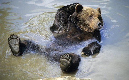 brown bear bears swimming squee