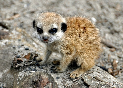 baby meerkat savanna Fluffy squee - 6678197760