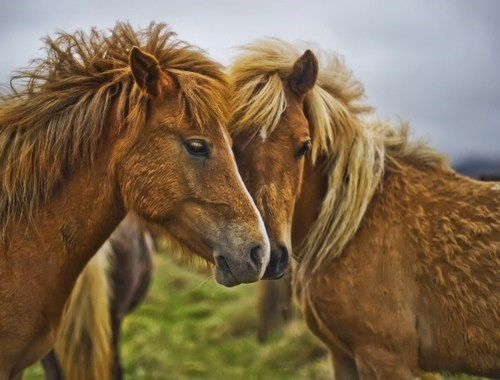 Iceland ponies horses squee - 6678206208