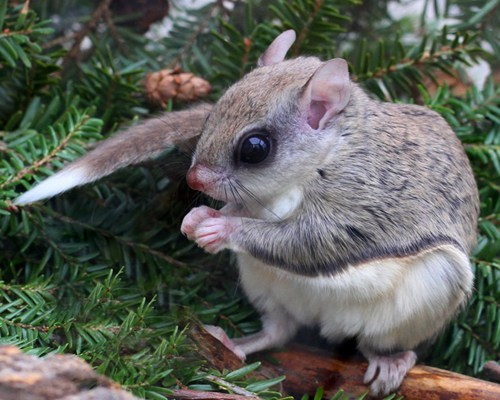 squee spree,squee,flying squirrel,hibernate,winter,pine tree,torpor,TIL