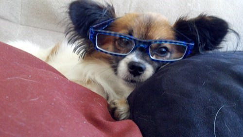 dogs,papillon,goggie ob teh week,glasses,renaissance art