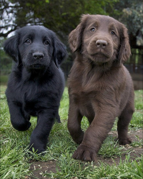 dogs puppy Flat Coated Retriever cyoot puppy ob teh day chocolate - 6678536448