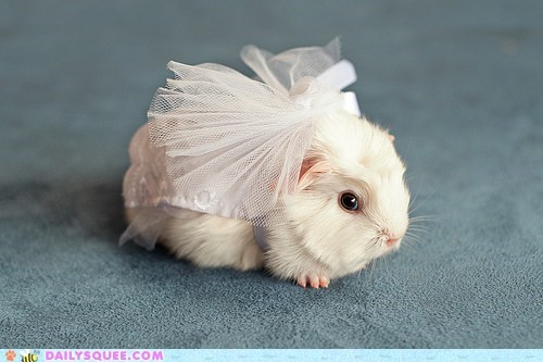 reader squee,squee,pet,guinea pig,model,bridal gown