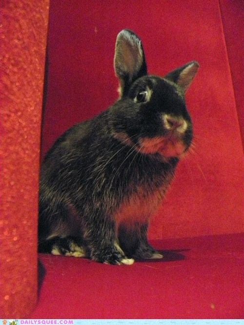 reader squee,happy bunday,throne,pet,rabbit,bunny,squee,royal