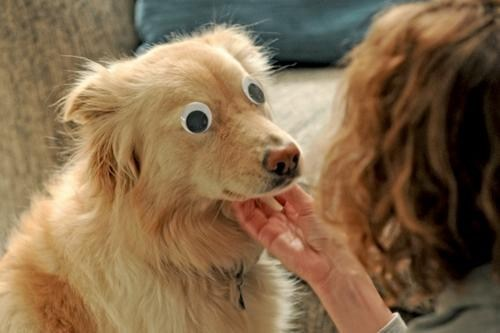 googly eyes,goggie,dogs,pets