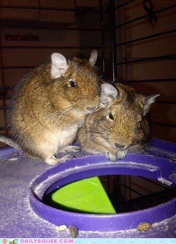 reader squee squee degus spoiled whiskers tail