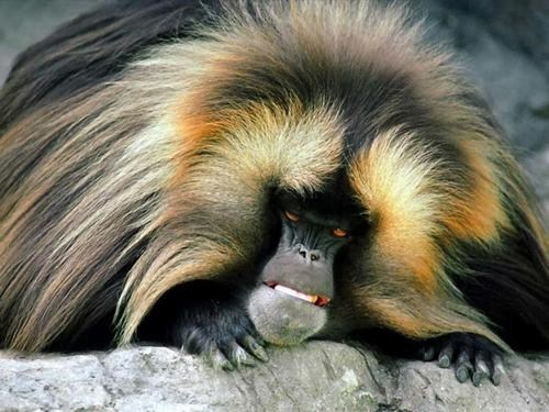 creepicute monkey ape furry scary Gelada Baboon squee Ethiopia - 6680757760