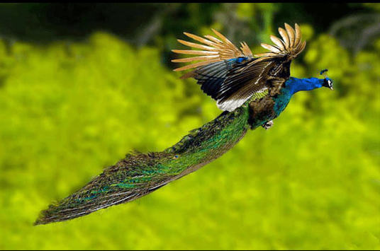peacocks flying