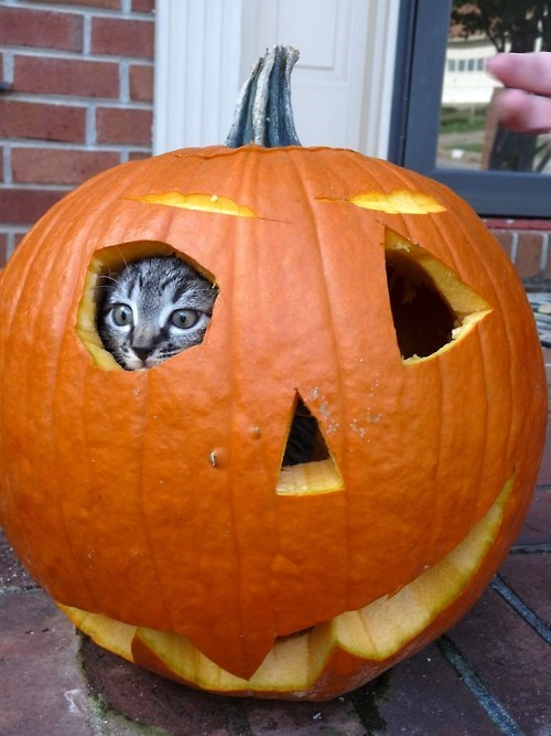Terrifying,kitten,halloween,jack o lanterns