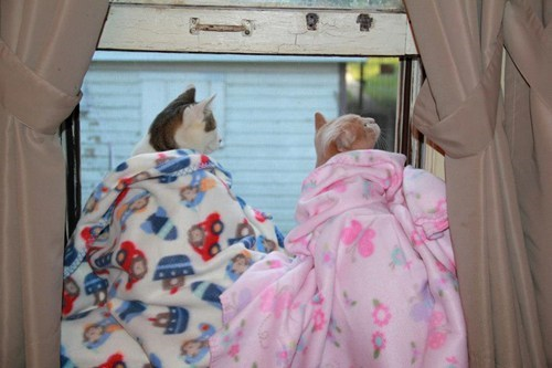 Cats,kitten,cyoot kitteh of teh day,windows,blankets,bird watching,fleece