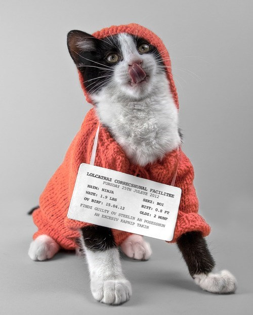 Cats,kitten,cyoot kitteh of teh day,jail,mugshots,signs,lolspeak,sweaters,criminals