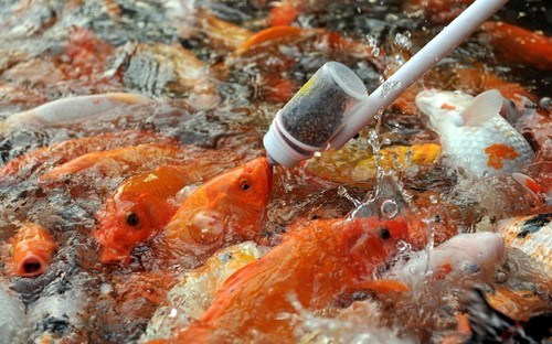 goldfish,koi,pond,food,fish,feeding,squee