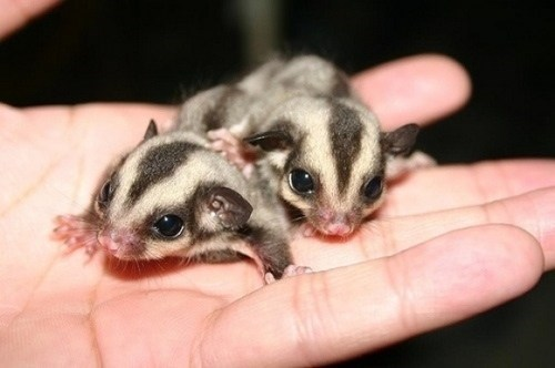 Babies tiny sugar gliders squee spree squee palm of hand