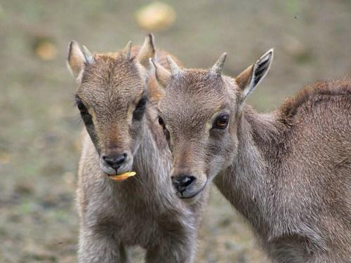 goat tahr horns deer squee himalayan - 6684345344