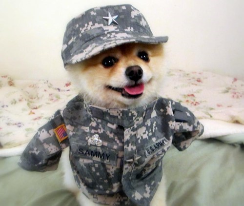 dogs pomeranian everybody loves sammy Sammy uniform army - 6684548608