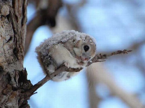 squee spree,squee,flying squirrel,japanese,snow,tree