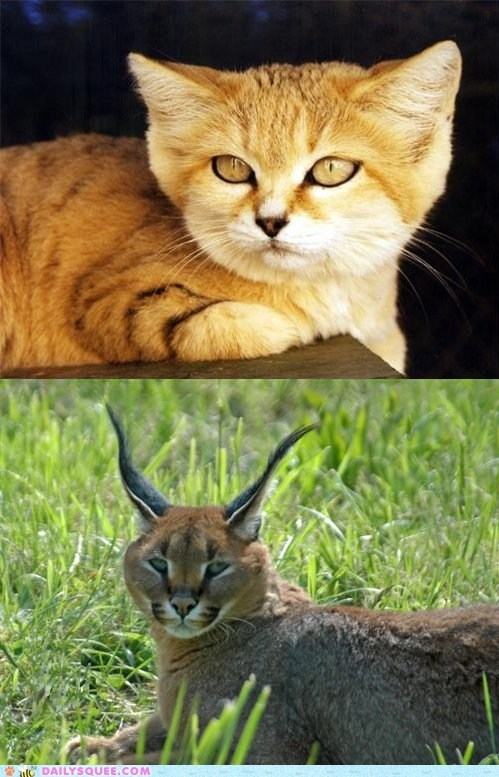 squee squee spree versus sand cat caracal face off poll - 6684732416