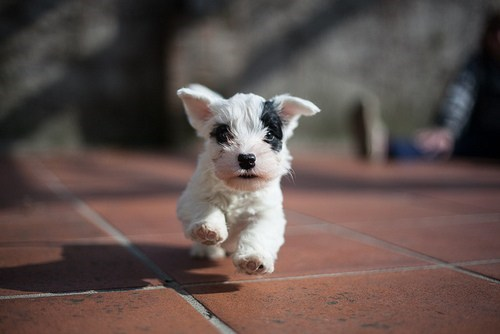 dogs puppy cyoot puppy ob teh day sealyham terrier running - 6684836352