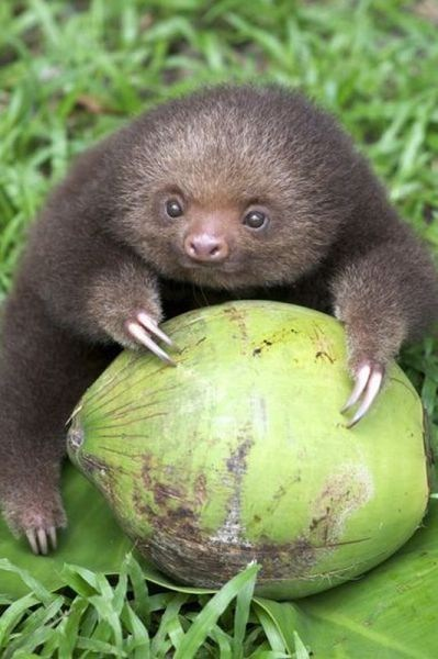 melon baby Fluffy food noms claws squee sloth - 6687446272