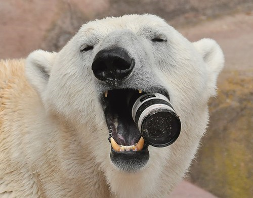 bears,polar bear,chew toy,camera,squee