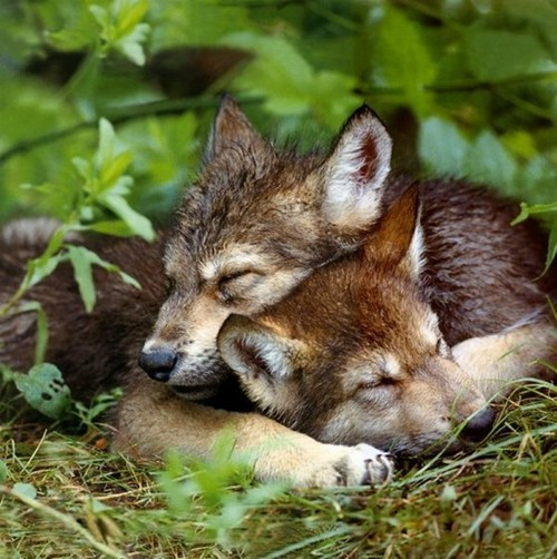 wolves Babies cubs cuddling squee wolf - 6687452672