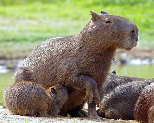 Babies capybara mama nursing feeding squee - 6687456768