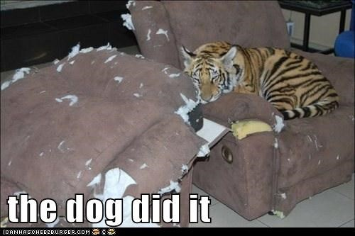 furniture,tiger,blame,scratched,dogs