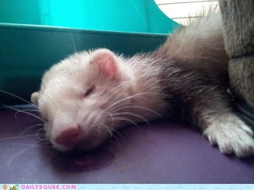 ferret reader squee nap pet squee sleeping