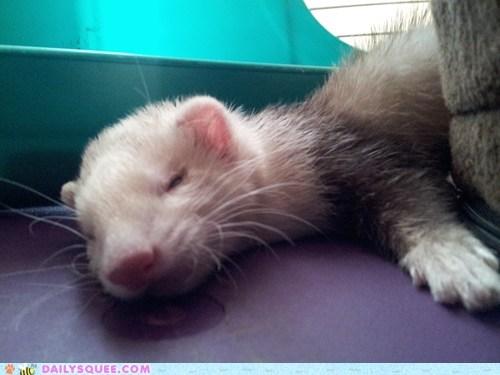 ferret reader squee nap pet squee sleeping - 6688475136
