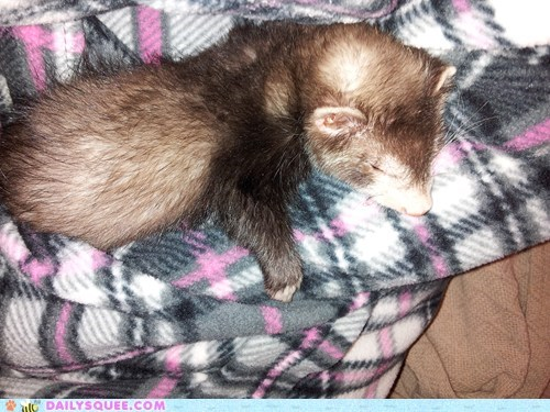 ferret,reader squee,nap,blanket,squee,sleeping