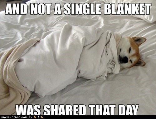 blanket,shiba inu,jindo,cold weather,winter,lazy