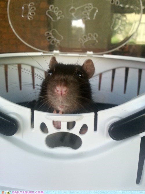 reader squee,squee,rat,whiskers,pet,derp
