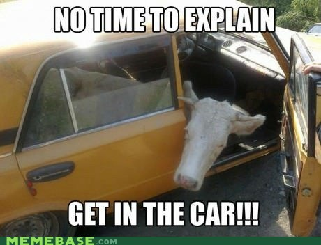 best show get in the car no time to explain animals cow - 6689299456