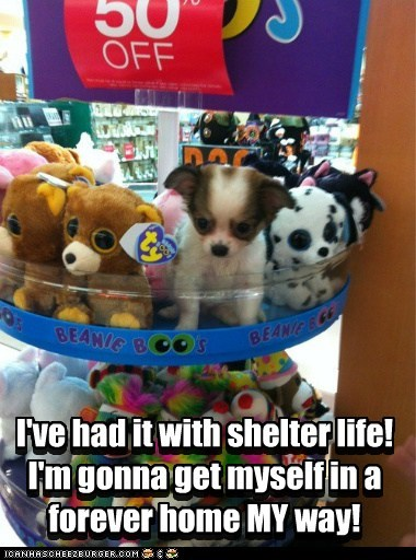 shelter,dogs,adopted,chihuahua,on sale,store