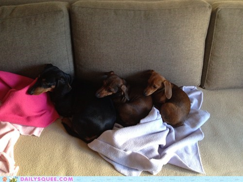 dogs trio reader squee dachshund cuddles pet squee - 6690419712
