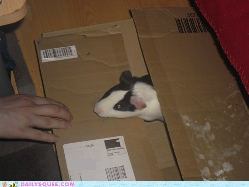 reader squee package guinea pig special delivery mail squee