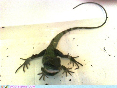 squee,lizard,bath,reader squee,chinese water dragon
