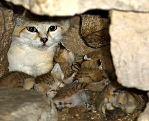 squee spree,squee,sand cat,mother,Babies,poll,winner,results