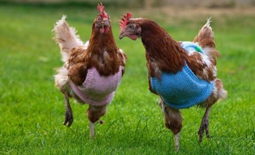 Winter Is Coming,knitted jumpers,hens,factory farming,squee,birds,chicken