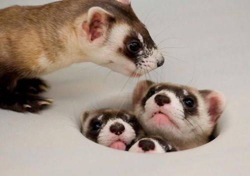 ferrets hole crowded hiding squee whiskers delightful insurance