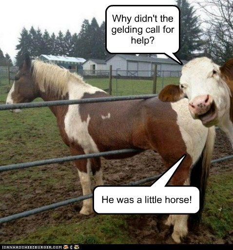 Why didn't the gelding call for help? He was a little horse!