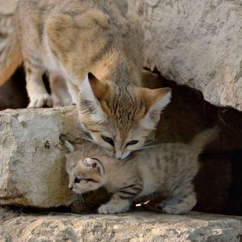 squee spree squee sand cat mother baby cave desert