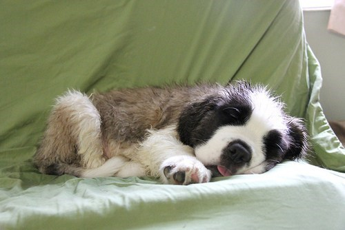 dogs saint bernard cyoot puppy ob teh day puppy nap sleeping - 6696531968