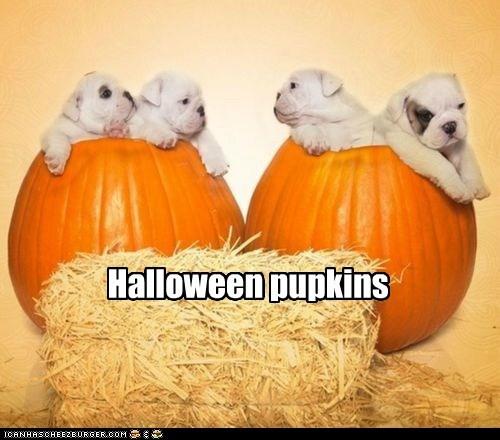 dogs pumpkins halloween bulldog puppies - 6696848896