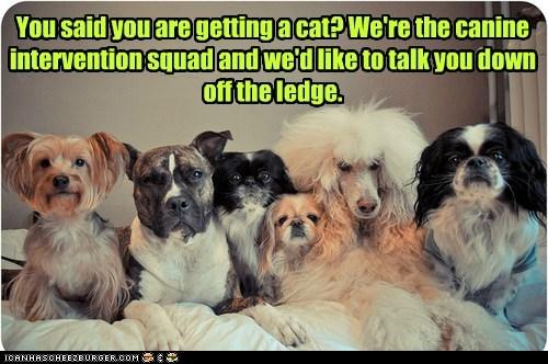 poodle intervention shih tzu pitbull Cats - 6697167872
